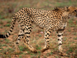 Cheetah, Acinonyx Jubatus, Londolozi Game Reserve Photographic Print by Yvette Cardozo