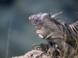 Green Iguana, Bonaire Photographic Print by Timothy O&#39;Keefe