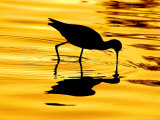 Avocet Silhouette at Sunrise Reproduction photographique par Russell Burden