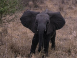 African Elephant Baby, Loxodonta Africana Photographic Print by D. Robert Franz