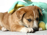 Puppy Covered with Stuffed Animal Toy Photographic Print by Steve Starr