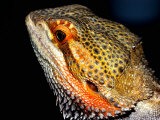 Collared Dragon Photographic Print by Larry Jernigan