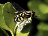 American Hover Fly, Metasurphus Americanus Photographic Print by Larry Jernigan