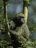 Male Olive Baboon, Papio Anubis Photographic Print by D. Robert Franz