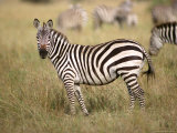 Zebras, Ngorongoro Crater, Africa Photographic Print by Keith Levit