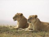 Lions, Ngorongoro Crater, Africa Stampa fotografica di Keith Levit