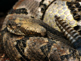 Timber Rattle Snake, Crotalus Horidus Photographic Print by Larry Jernigan