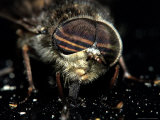 American Horsefly, Tabanus Americanus Photographic Print by Larry Jernigan