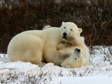 Polar Bear, Ursus Maritimus, Churchill, Manitoba Photographic Print by Yvette Cardozo