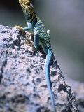 Colored Lizard on Rock Photographic Print by Amy And Chuck Wiley/wales
