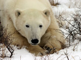 Polar Bear, Ursus Maritimus on Tundra in Churchill Photographic Print by Yvette Cardozo
