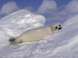 Harp Seal Pup, Pagophilus Groenlandicus Photographic Print by D. Robert Franz