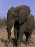 African Elephant, Luxodanta Africana Photographic Print by D. Robert Franz