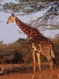 Giraffe, Giraffa Camelopardalis Fotografisk tryk af Yvette Cardozo