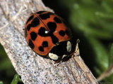 Lady Bug, Coccinellidae Photographic Print by Larry Jernigan