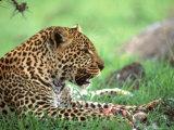Kenya, Africa, Leopard, Panthera Pardus Fotografisk trykk