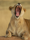 Lion Roaring, Namibia, South Africa Stampa fotografica di Keith Levit