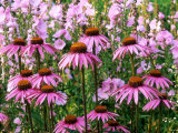 "Pink Summer Border, Echinacea (Coneflower) and Sidalcea Malviflora ""Elsie Heugh"" (Checkerbloom) Photographic Print by Mark Bolton"