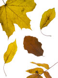 Autumn Leaves with Veins Photographic Print by Mark Bolton