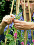 Pinching out Heads of Sweet Peas to Encourage Bushy Growth Lámina fotográfica por Mark Bolton