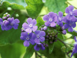 Brunnera Macrophylla, March Photographie par Mark Bolton