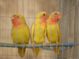 Birds in a Bird Cage, Havana, Cuba Stampa fotografica di Keith Levit