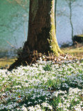 Plants Under Trees Galanthus Nivalis (Snowdrop) Growing Under Tree, March Lake Behind Photographie par Mark Bolton