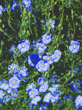 Flax Flower, Photographic Print