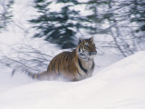 Siberian Tiger in Snow Photographic Print by Michele Burgess