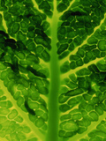 Extreme Close-up of Brassica, Savoy Cabbage, November Photographic Print by James Guilliam