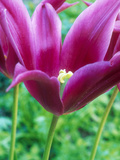 """Tulipa """"Lily Mauve"""" (Pink) Stampa fotografica di Sunniva Harte"""