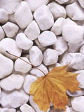 Close-up of Maple Leaf Lying on White Pebbles Fotografie-Druck von James Guilliam
