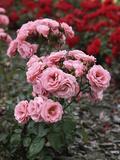 """Rosa """"Tanope"""" (Floribunda Patio Rose) Fotografiskt tryck av Brian Carter"""