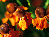Helenium &quot;Moerheim Beauty,&quot; Close-up of Flower Heads in the Sunlight Fotografie-Druck von Lynn Keddie