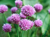 Chives, Allium Schoenoprasum Photographic Print by Anne Green-armytage