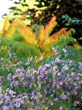 Asters (Purple) Growing in a Clump, October Photographie par Lynn Keddie