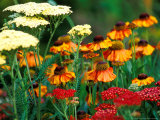 Helenium and Achillea Growing Together, Close-up of Flower Heads Fotografie-Druck von Lynn Keddie