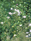 "Aster Cordifolius ""Silver Spray,"" Portrait of Flowers and Foliage Photographie par Lynn Keddie"