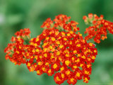 Achillea &quot;Walther Funcke,&quot; Close-up of Red Flower Head Fotografie-Druck von Lynn Keddie