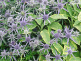 Summer Partners Eryngium X Tripartitum & Sage (Variegated) Photographie par Christopher Fairweather