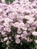 "Erigeron ""Quakeress,"" Flowering in, Norfolk Fotografiskt tryck av Brian Carter"