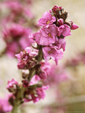 Daphne Mezereum, Close-up of Flowers February Fotografie-Druck von Lynn Keddie