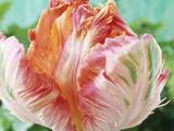 Parrot Tulip Stampa fotografica di Chris Burrows
