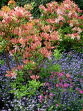 Salmon Pink Rhododendron (Azalea), Blue Myosotis (Forget Me Not) and Silene (Red Campion) Photographie par Ron Evans