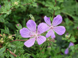 "Geranium ""Blue Cloud"" in Flower Cumbria Photographie par David England"