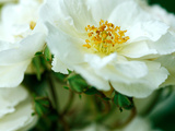 Rosa &quot;Rambling Rector&quot; Fotografie-Druck von Lynn Keddie