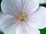 Geranium Clarkei &quot;Kashmir White&quot; Fotografie-Druck von Lynn Keddie