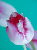 Tulipa Maximowiczii Against Green Background February Fotografie-Druck von Andre Jordan
