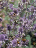 Close-up of Amethyst-Mauve Thistle Flowerheads with Bees Photographic Print by Brian Carter