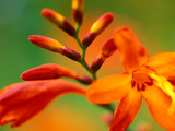 "Crocosmia ""Venus,"" Close-up of Orange/Red Flower Head Stampa fotografica di Lynn Keddie"